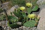 opuntia_humifusa_plant_030906.jpg
